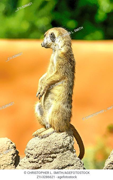 Meerkat on lookout at Reid Park Zoo in Tucson AZ