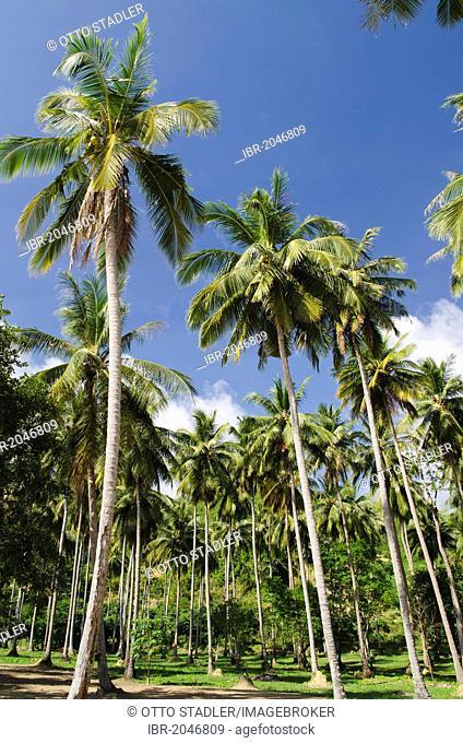 Palm trees, palm grove, on Long Beach, Koh Yao Noi, Phang Nga, Thailand, Southeast Asia, Asia