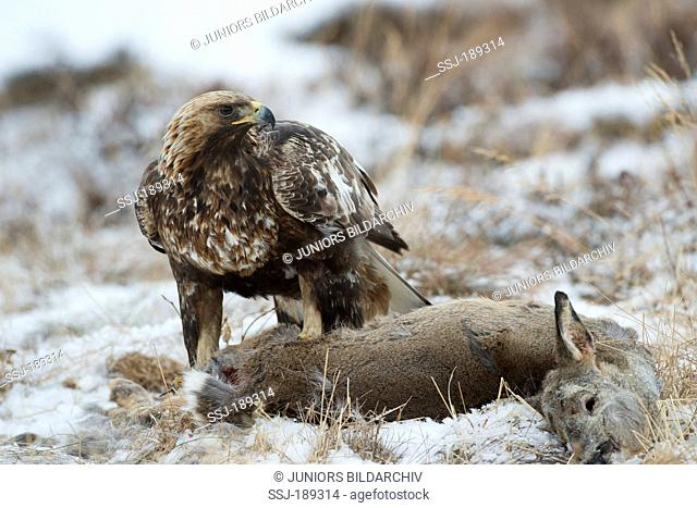 Golden Eagle (Aquila chrysaetos). Adult at roe deer carcass. Germany