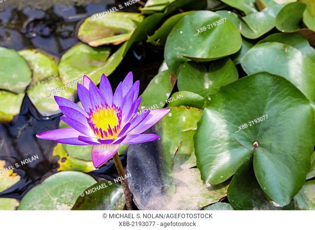 Water-lilies, Nymphaea spp, in Phnom Penh, along the Mekong River, Cambodia (Khmer)