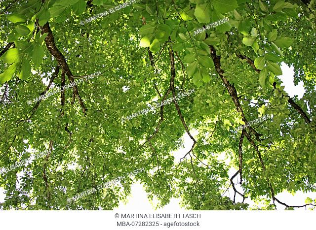Treetop in midsummer