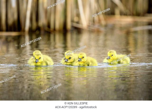 Canada Goose Goslings, Oak Hammock Marsh, Manitoba, Canada