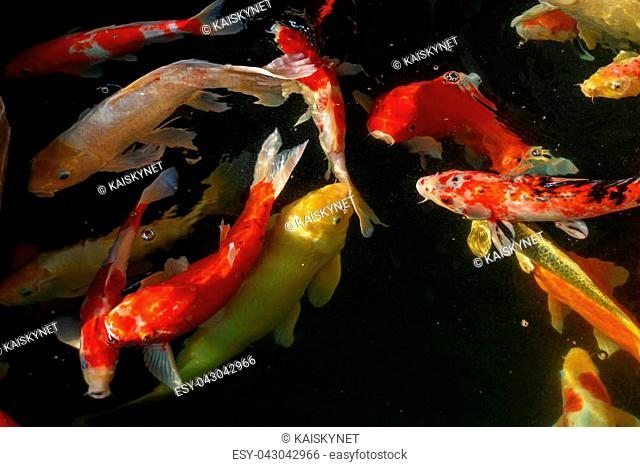 Koi, Fancy Carp are swimming in above water surface