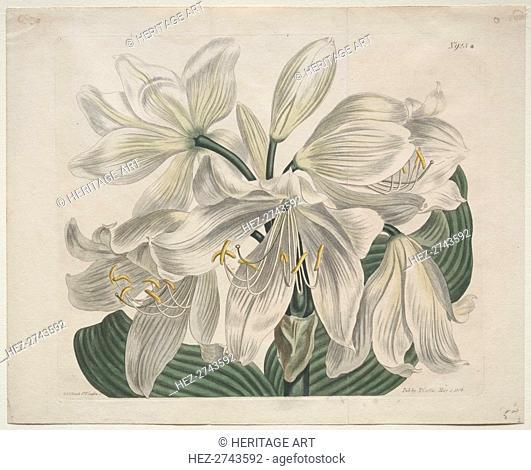 The Botanical Magazine or Flower Garden Displayed: White Cape - Coast Lily, 1806. Creator: Sydenham Edwards (British, 1768-1819); Thomas Curtis (British