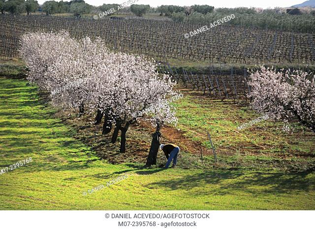 Arnedo almond trees in blossom, La Rioja, Spain