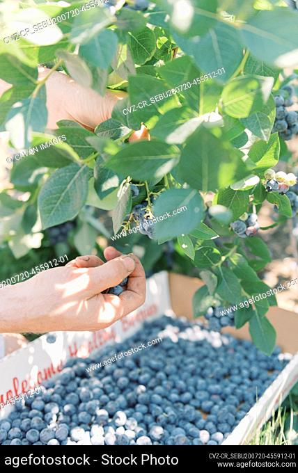 picking blueberries at a farm