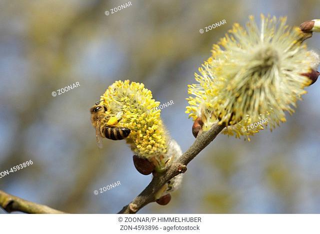 männliche Blüten mit Honigbiene