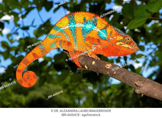 Panther chameleon (Furcifer pardalis), male, between Ambilobe and Sirama, northwestern Madagascar, Madagascar
