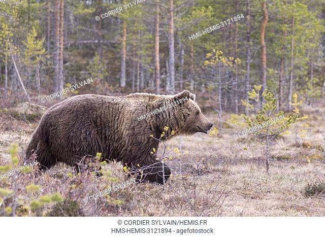 Finland, Brown bear (Ursus arctos horribilis)