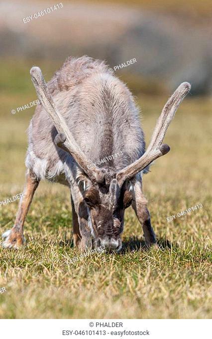 reindeer (rangifer tarandus platyrhynchus) grazing