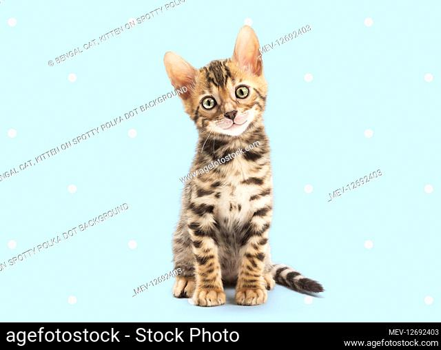 Bengal Cat, kitten on spotty polka dot background