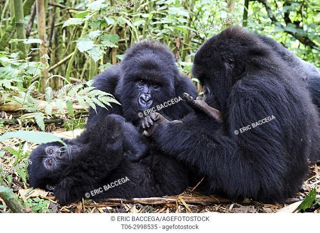 Mountain gorilla grooming (Gorilla gorilla beringei) Member of Munyaga group. Virunga National Park, North Kivu, Democratic Republic of Congo, Africa
