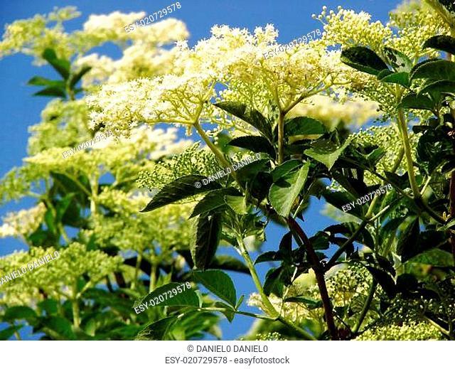 Sambucus nigra or common elder