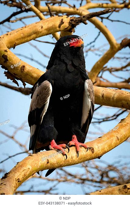 Bateleur eagle on thick branch staring out