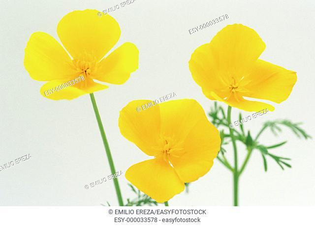 California Poppy (Eschscholtzia californica)