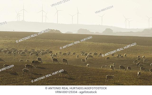 Flock of sheep and wind energy. Albacete province. Spain