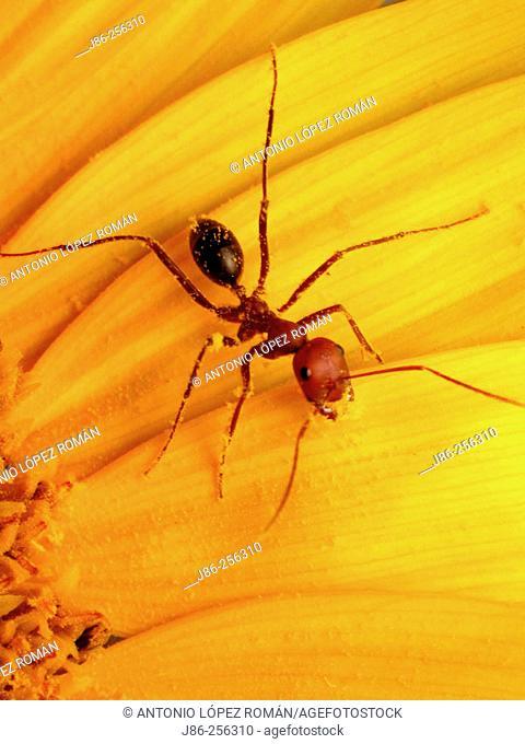 Ant (Cataglyphis velox) feeding on sunflower