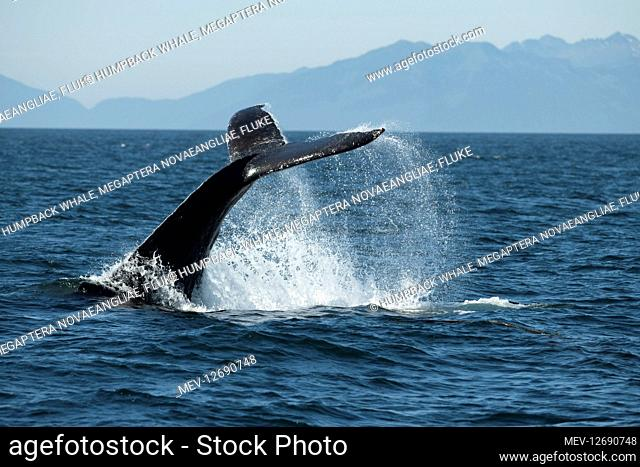 Humpback whale, Megaptera novaeangliae, fluke slapping, Southeast Alaska, USA