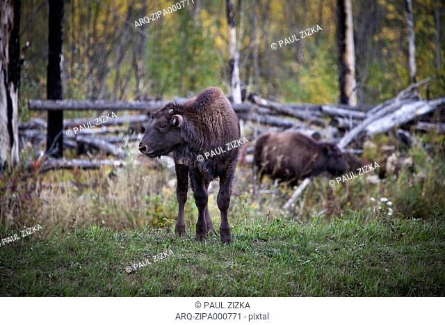 Herd Of Bison On Grassyland In Yukon, Canada