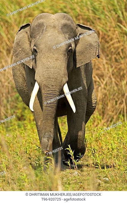 Asian Elephant (Elephas maximus) at Kaziranga National Park, Assam, India