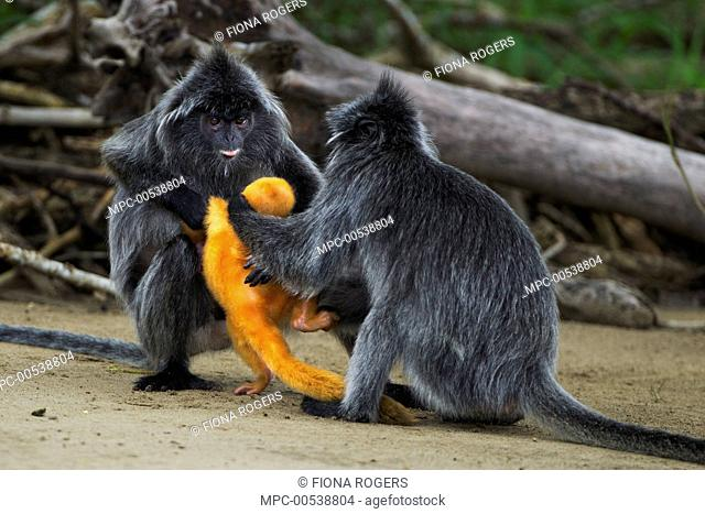 Silvered Leaf Monkey (Trachypithecus cristatus) females fighting over week old baby, Bako National Park, Sarawak, Borneo, Malaysia