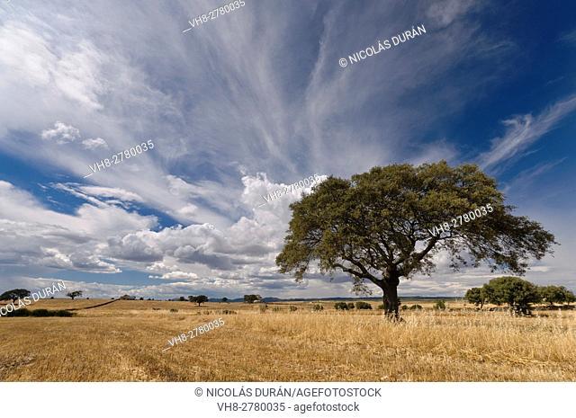 Holm oak (Quercus ilex) in cultivation field. San vicente de Alcántara. Badajoz Province, Extremadura, Spain