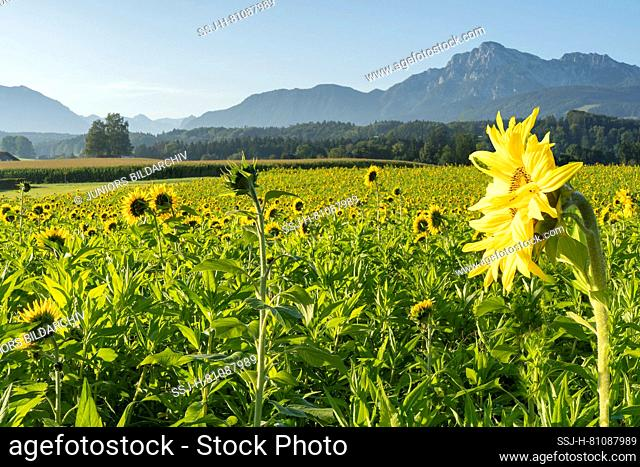 Sunflower field with the mountains Hochstaufen and Zwiesel in the background. Upper Bavaria, Germany