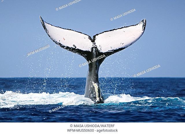 Humpback Whale Lobtailing, Megaptera novaeangliae, Pacific Ocean, Hawaii, USA