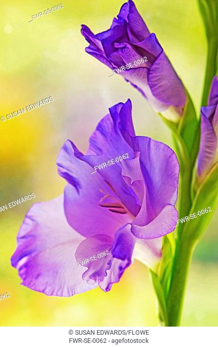 Funnel shaped flower of Gladiolus cultivar with others unfurling above