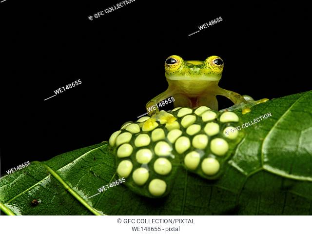 Male glassfrog (Hyalinobatrachium aureoguttatum) guarding a clutch of eggs, Glassfrog family (Centrolenidae), Choco rainforest, Canande River Reserve