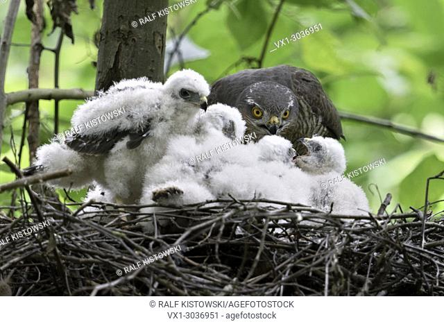 Sparrowhawk ( Accipiter nisus ), caring female, feeding its offspring, young chicks begging for food, wildlife, Europe
