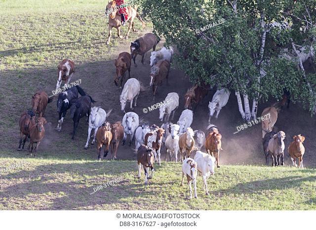China, Inner Mongolia, Hebei Province, Zhangjiakou, Bashang Grassland, Mongolian horsemen lead a troop of horses running in a group in the meadow