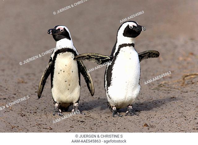 Jackass Penguin, Spheniscus demersus, Betty's Bay, South Africa, adult couple walking on beach