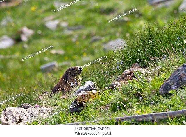 Austria, Hohe Tauern, alpine marmot at Grossglockner