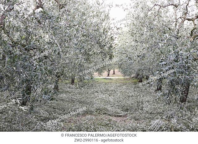 Olive pruning completed. Canosa DP, Puglia. Italy