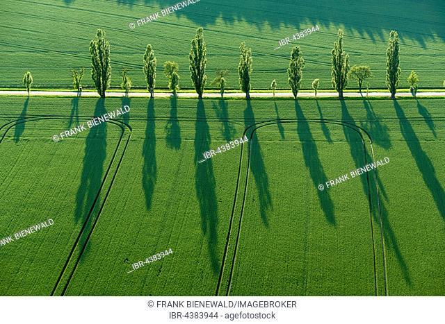 A row of Poplar trees (Populus) is creating long shadows on a green field, Königstein, Saxony, Germany