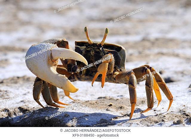 Fiddler crab (Uca tangeri) male. Boca de la Isla or barrilete. Doñana National Park. Guadalquivir river. Cádiz province. Andalusia. Spain