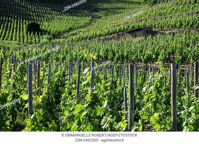Vineyard, vine industry, Cornas , Ardeche, Rhone ALpes, Rhone Valley, France, Europe