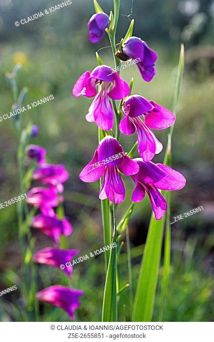 Wild gladiolus (Gladiolus illyricus) on Pelion Peninsula, Greece