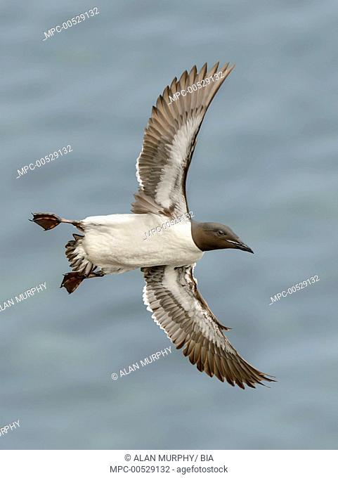 Brunnich's Guillemot (Uria lomvia) flying, Alaska