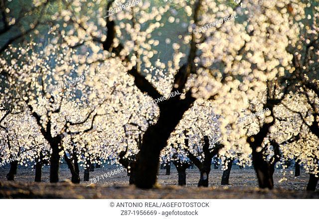 Almond trees in bloom. Almansa. Albacete. Spain