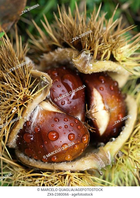Chestnuts inside bur (Castanea sativa). Montseny Natural Park. Barcelona province, Catalonia, Spain