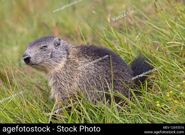 Alpine Marmot - young marmot - Hohe Tauern National Park, Austria