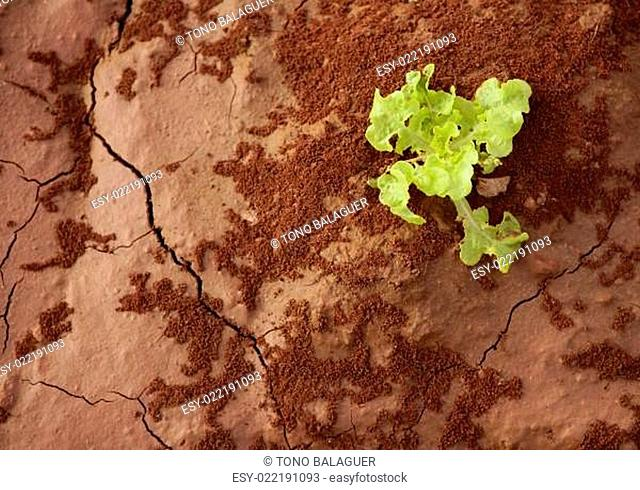 Lettuce green outbreak over red clay floor