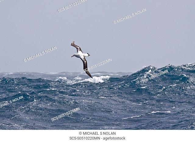 Wandering albatross Diomedea exulans on the wing in the Drake Passage between the tip of South America and the Antarctic Peninsula