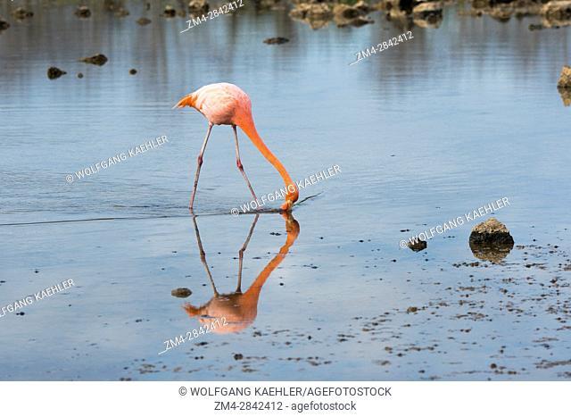 American Flamingo is feeding in the lagoon at Cerro Dragon on the west coast of Santa Cruz Island (Indefatigable Island), Galapagos Islands, Ecuador