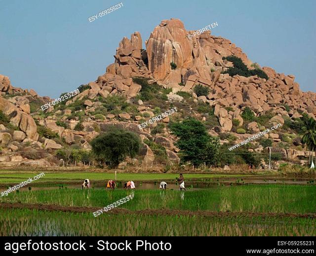 Farmer planting rice, granite mountain