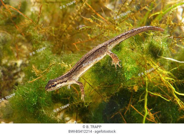 smooth newt (Triturus vulgaris, Lissotriton vulgaris, Lissotriton vulgaris ampelensis ), female under water, Romania, Moldau, Iași