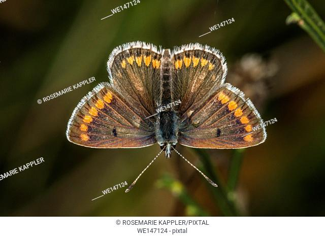 Germany, Saarland, Bexbach - A Brown argus is sitting on a blossom