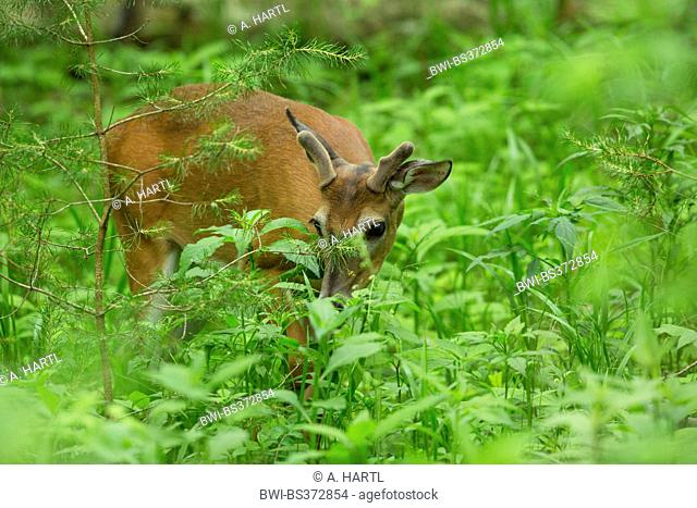 White-tailed deer (Odocoileus virginianus), browsing between herbaceous perennials, USA, Tennessee, Great Smoky Mountains National Park